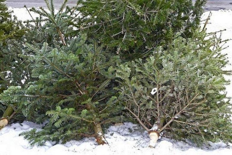 Brazii de Crăciun, colectați de la platforme în perioada 11.01-12.01.2020